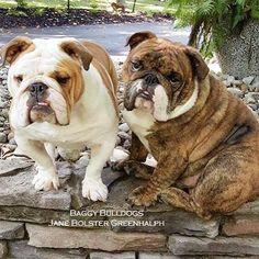 Baggy Bulldogs   BaggyBulldogs