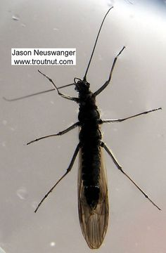 Female Strophopteryx fasciata (Mottled Willowfly) Stonefly Adult from the Namekagon River in Wisconsin.  Aka Brown Stonefly