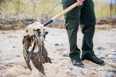 Researcher Dan Ray removes a dead bird from the coastline. Image: Samuel Corden