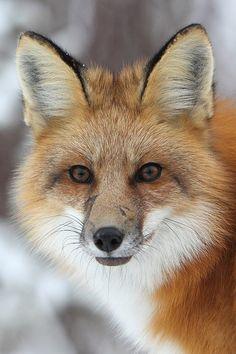 Red Fox by Doug Dance