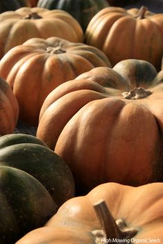 Musque de Provence Pumpkin - Gorgeous French variety also known as Fairytale. Richly colored green background and orange glow become increasingly buff when ripe. Fruits are large, often weighing 15-25 lbs, flat in shape and deeply ribbed. This edible pumpkin, often enjoyed cooked, is also traditionally eaten fresh. Cut from the middle like a wedge of cheese and slice very thinly. The flavor is exceptionally complex and sweet with a nice light crunch.