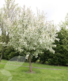 Buy crab apple Malus 'John Downie': Delivery by Crocus.co.uk