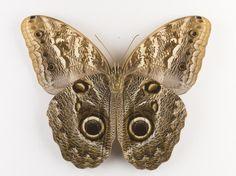 Caligo memnon, owl butterfly, dried specimen