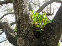 Staghorn fern air plant