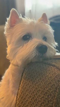 Terriers My God how much this looks like my Rudy. Westies, Westie Puppies, Cute Puppies, Dogs And Puppies, Doggies, Cute Dogs Breeds, Dog Breeds, Highlands Terrier, White Terrier
