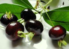 cherry manis