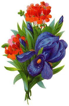 Red geraniums and deep purple iris