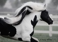 Wow! Black and White Mane (by Kathy Mathew)
