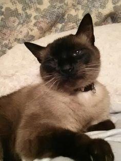 My beautiful sealpoint Siamese baby...