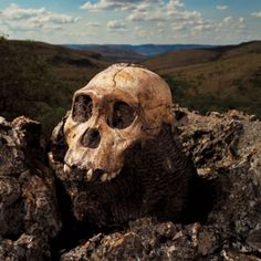 New human species from South Africa—Australopithecus sediba—has been held up as the ancestor of our genus, Homo. Image: Brent Stirton/Getty Images