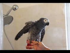 How to Create a Cuddly & Affectionate Parrot Parrot Pet, Parrot Toys, Animal Pictures, Cute Pictures, Diy Bird Cage, Diy Bird Toys, Amazon Parrot, African Grey Parrot, Pretty Birds