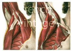 29X40cm Muscles de l'Epaule Planche Anatomique Muscles Corps Humain Bourgery…