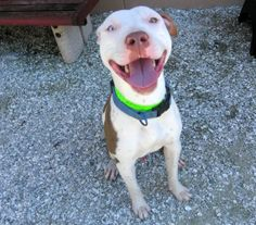 117 Zabe is an adoptable Pit Bull Terrier Dog in Largo, FL. 38lba. 1.5 years old. Adoption Fees are $25 during May. This includes spay/neuter, shot series, internal and external parasite control, rabi...