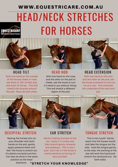 """here are some great head and neck stretches to do with those horses who get """"tight in the poll"""" or just do a lot of collective work! Horse Riding Tips, Horse Tips, Anatomy Online, Therapeutic Horseback Riding, Horse Exercises, Horse Therapy, Health Heal, Sports Massage, Neck Stretches"""