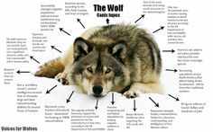 Many Wolf Facts!