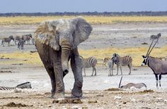 Etosha National Park, Namibia.  Travel to Africa with Nomad Adventure Tours on your next holiday.  Desert & Delta - North 2013
