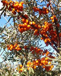 Berries of common sea buckthorn tindvedb r rett fra fryseren flickr photo sharing sea - Growing sea buckthorn ...