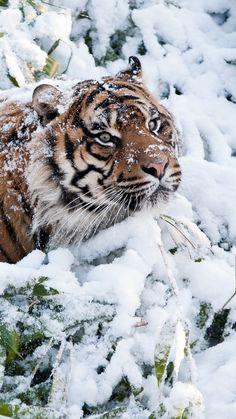Amazing wildlife. Tiger and snow photo #tigers                              …