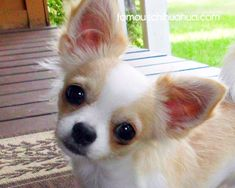 ♥CHI♥ 23 Cutest Chihuahua in the World | ... order here are the 4 chihuahuas that ranked as the cutest runner ups
