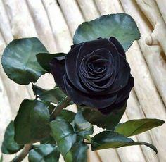 Existem rosas negras naturais, elas crescem somente em um lugar: O pequeno vilarejo de Halfeti -Turquia é só aparecem nos meses de verão