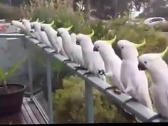 Wild Cockatoos having lunch...intelligent bird eating from hand