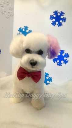 Lilly the Bichon Frise in Asian style trim. Temporary color approved by www.thenapcg.com