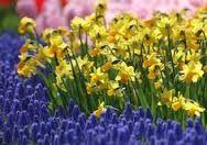 Image result for grape hyacinth companion plants