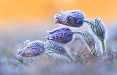 Pasque flowers covered in hoar frost on the rim of the nordinger ries crater in Bavaria Germany.  photo by Daniel Eggert.