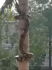 A Snake Coils Itself Up A Tree....Yeah...that's a big fat NOPE!!!!!!!