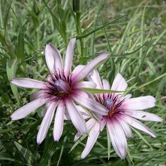 Tragopogon marginifolius Pavlov Seeds For Sale, Plants, Plant, Planting, Planets