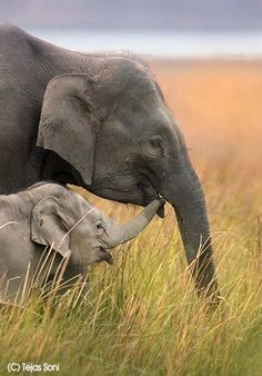 The tender trust between mother and child is shown in these two elephants. Photo by Tejas Soni.