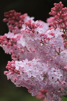 Lovely lavender pink & white lilacs