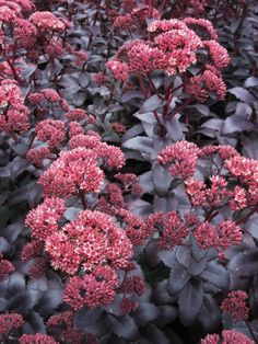 Sedum telephium, orpine, numerous varieties, An evergreen perennial with succulent leaves from Europe, growing to 60 cm (2 ft) high. The leaves are edible (raw) – very nice – and the plant makes a good ground cover plant (self-seeding freely). Also a bee plant. Likes a well-drained site, and happy in sun, part or deep shade; hardy to -20°C