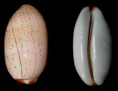 Luria isabella (Linnaeus, 1758) - Southern Kwazulu Natal