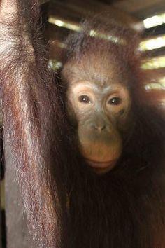 From Orangutan Foundation-rescued orangutan ANTON