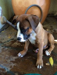 Good Boxer Chubby Adorable Dog - 82b5205ab21bc41dbe6e7b5a3c1ade6c  Trends_19121  .jpg