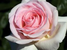 Francis Meilland® | Star Roses & Plants - A tall Hyrbid Tea rose with a very large bloom and strong fragrance. A multiple award winner in Europe, it is the 2008 winner of the prestigious ADR contest in Germany where roses are observed for 2 years under no spray conditions. 2013 AARS winner.