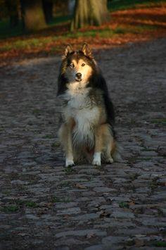 Marley (Collie, Siberian Husky) Mischling Mix Akita, Rottweiler, Husky Mix, Golden Retriever, Mixed Breed, Collie, Fox, Cats, Animals
