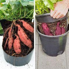 Diy Garten Grow exotic sweet potatoes yourself. Grow exotic sweet potatoes yourself. Garden Care, Gemüseanbau In Kübeln, Growing Sweet Potatoes, Grow Potatoes, Container Gardening Vegetables, Garden Container, Vegetable Gardening, Edible Garden, Diy Garden