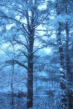 Cold and Blue winter morning in the forest of Mines Falls Park in Nashua, New Hampshire with the snow on the tree branches. ~ Blue Dawn by Photographer Joann Vitali