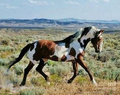 "Wild pinto stallion ""Picasso"" from Sand Wash Basin. Photo credit: Plusten Photography This is the real stallion from ""the girl who loved wild horses"" All The Pretty Horses, Beautiful Horses, Animals Beautiful, Cute Animals, Beautiful Things, Wilde Mustangs, Cheval Pie, Majestic Horse, Horse Pictures"