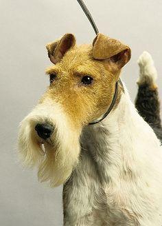 Wire Fox Terrier | Dog Breeds at myPetSmart.com