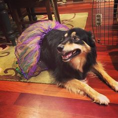 Dressed as a Mardi Gras girl for Halloween Funny Dog Images, Funny Dogs, Dog Halloween Costumes, Dog Costumes, Mardi Gras Girls, Dog Recipes, Mom Humor, Dog Treats, Dog Mom