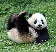 Panda en pleine session d'affermissement des grands droits.