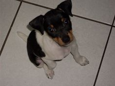 Fox Paulistinha/Terrier Brasileiro (filhote)