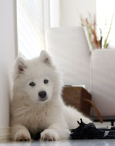 Samoyed puppy.