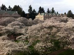 Blanket of cherry blossoms at the UW Quad