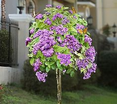 """Cottage Farms Fragrant Purple Heliotrope PatioTree  annual. ideal as patio or container-grown plant. Ships As: one actively growing 24""""H trained plant in a 7""""W x 7""""H pot.  Zone. all US zones from spring to fall; move indoors at first sign of frost and treat as houseplant over winter; see winterizing instructions  Exposure: full to partial sun. keep soil damp. Fertilize: feed every 2 to 3 weeks during growing season  Winterize: at first frost, prune back by 1/3 move indoors. 3-4'Hi 2-3W…"""