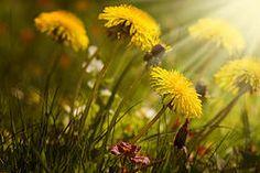 >Food & Medicine from Dandelion