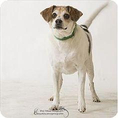 Riverside, CA - Beagle Mix. Meet Ian, a dog for adoption. http://www.adoptapet.com/pet/13071330-riverside-california-beagle-mix